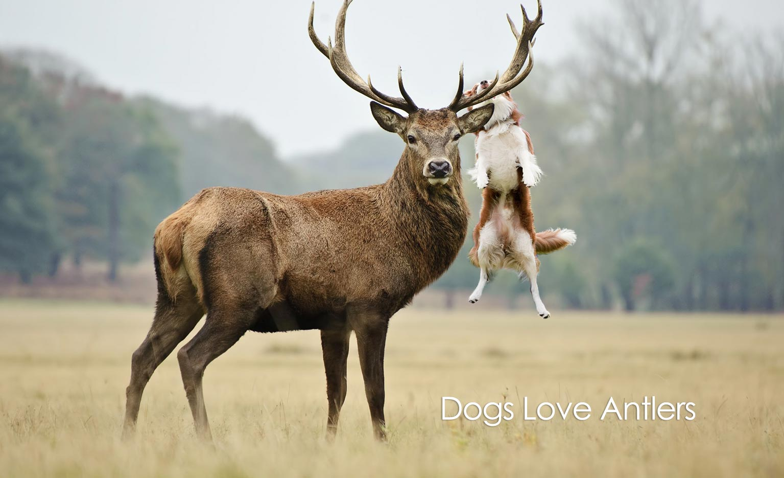 why your dog loves antlers healthypets blog