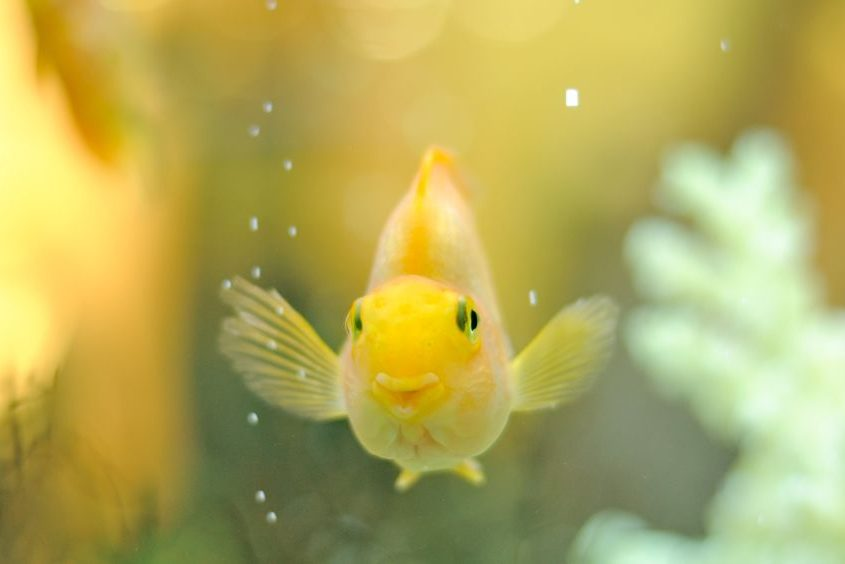 13626297 - happy gold parrot fish in aquarium