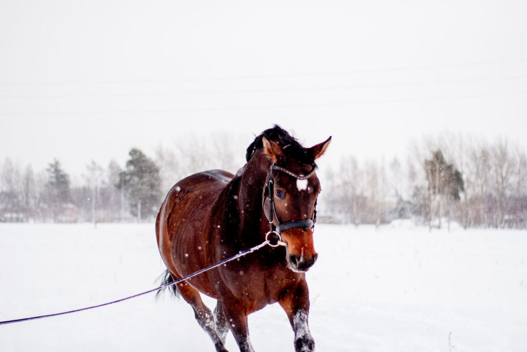 51288324 - beautiful running bay horse portrait in winter field