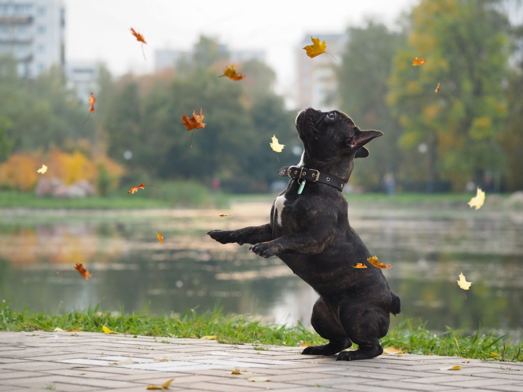 dog funny playing with falling leaves in autumn park