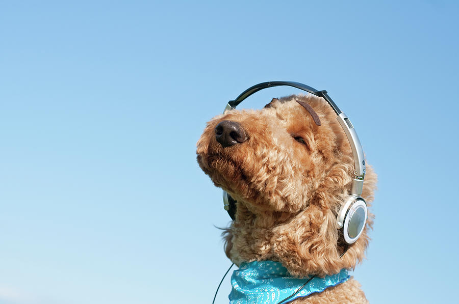poodle listening to music