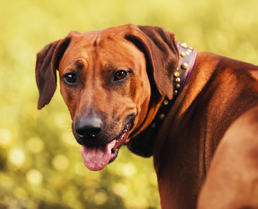 35898644 - rhodesian ridgeback portrait in autumn background