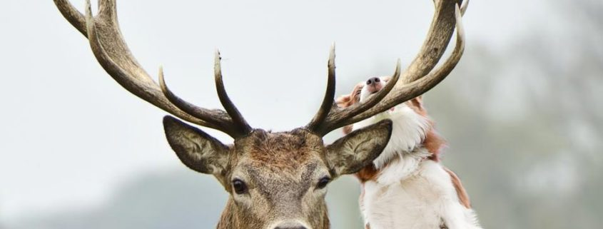 Why do dogs love antlers?