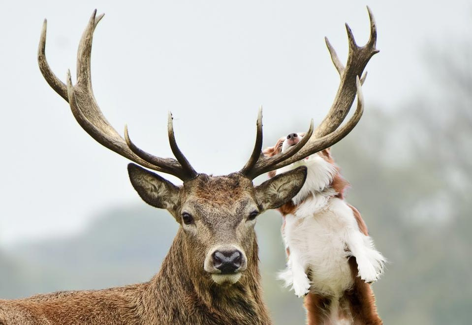 Why Your Dog Loves Antlers | HealthyPets Blog
