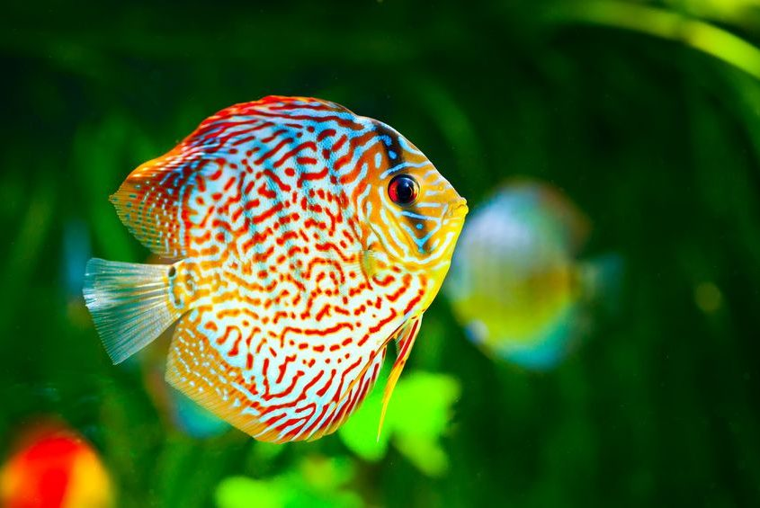 12773014 - symphysodon discus in an aquarium on a green background