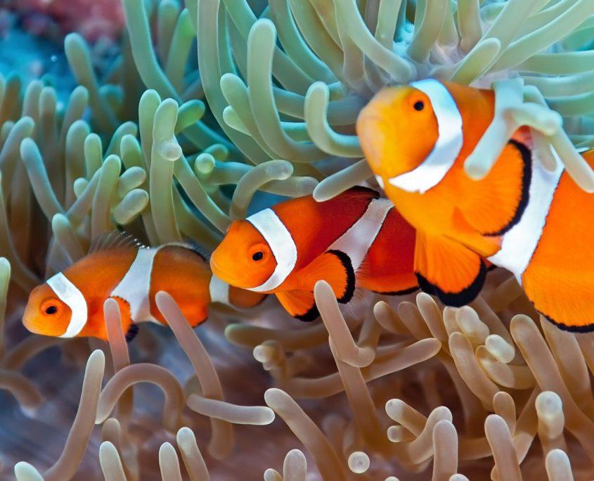 13611205 - clownfish