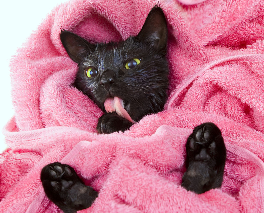 30490107 - cute black soggy cat licking after a bath, drying off with a towel