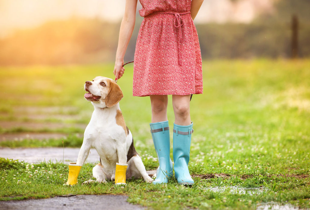 35330014 - young woman in dress and turquoise wellies walk her beagle dog in a park