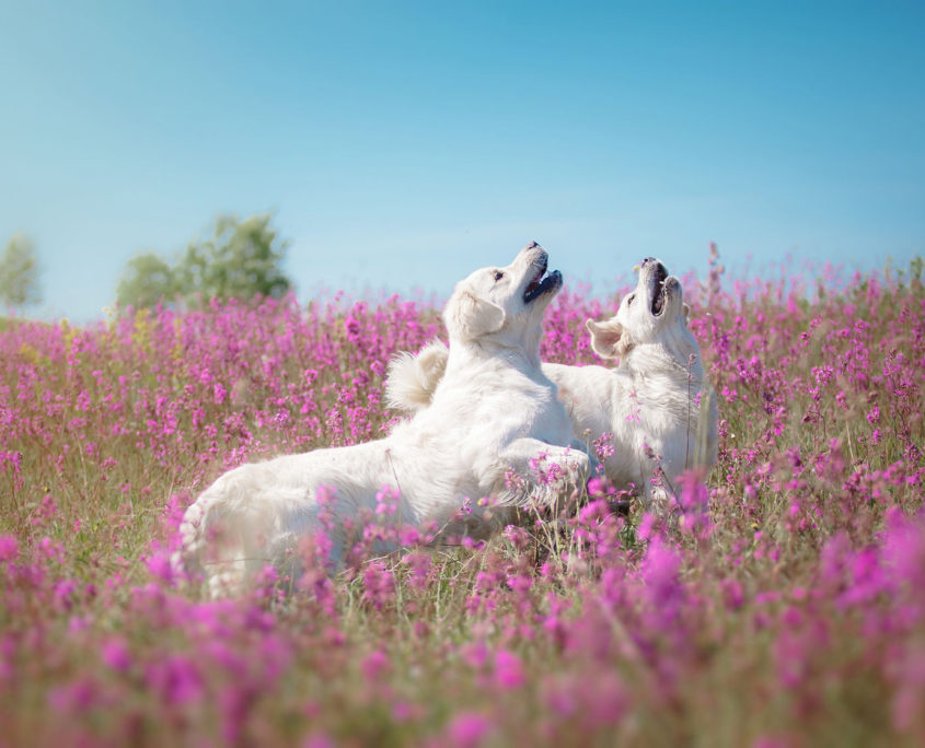 42904567 - beautiful dog in flowers field, on the nature of motion