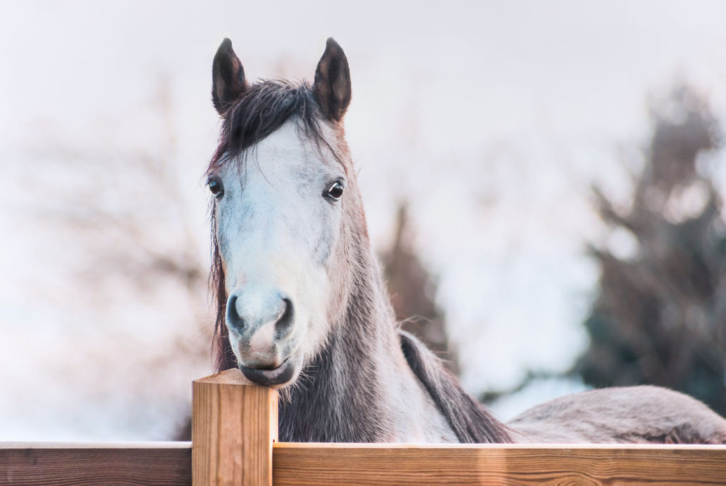 51663424 - horse face on wooden fence, outdoor
