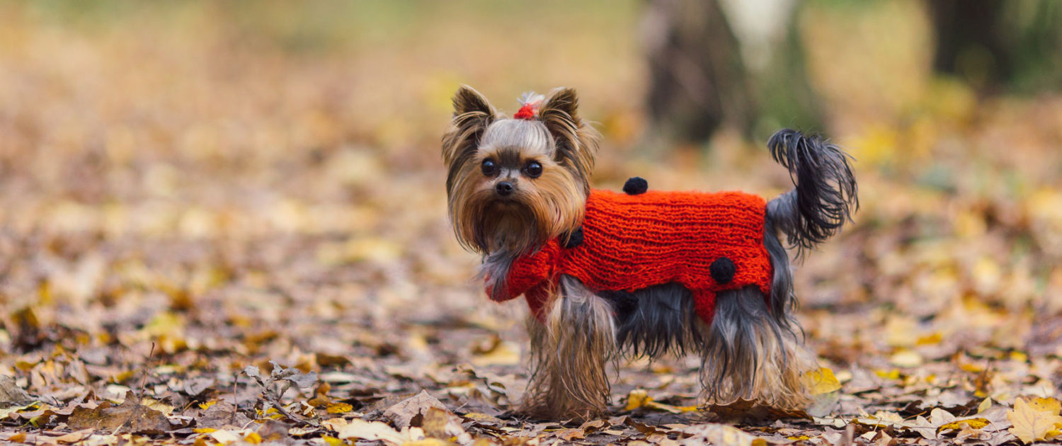 cute yorkshire terrier puppy in a red jersey walks in autumn park