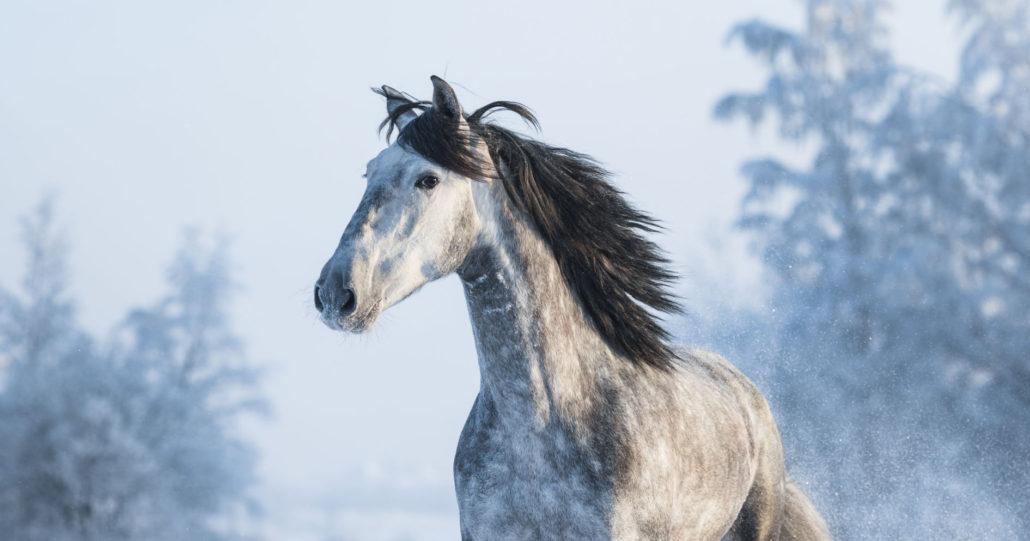 53389441 - portrait of grey purebred spanish horse on winter background