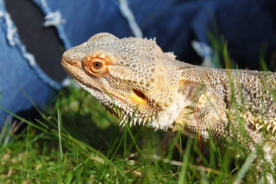 pet bearded dragon