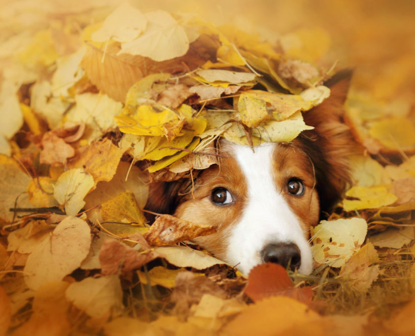 38620575 - young red border collie dog playing with leaves in autumn