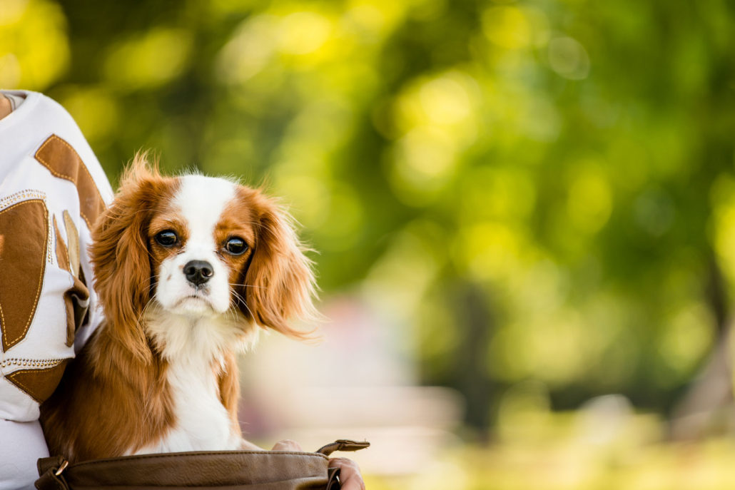 portrait of cavalier dog in nature with copy space