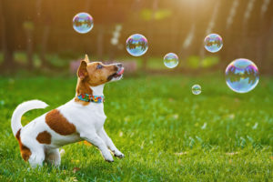 puppy jack russell playing with soap bubbles in