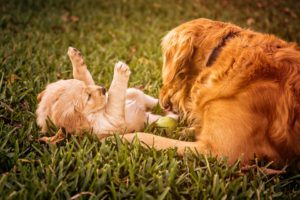 puppy fleas