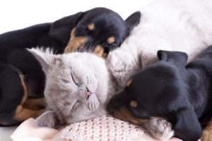 british kitten rare color lilac and puppies dachshund