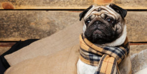 cute pug dog in checkered scarf sitting on pillows on