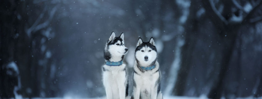 dog sitting outdoors in christmas trees, winter mood, blue color winter landscape