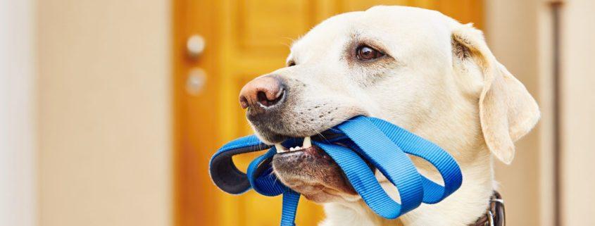 labrador retriever with leash is waiting for walk