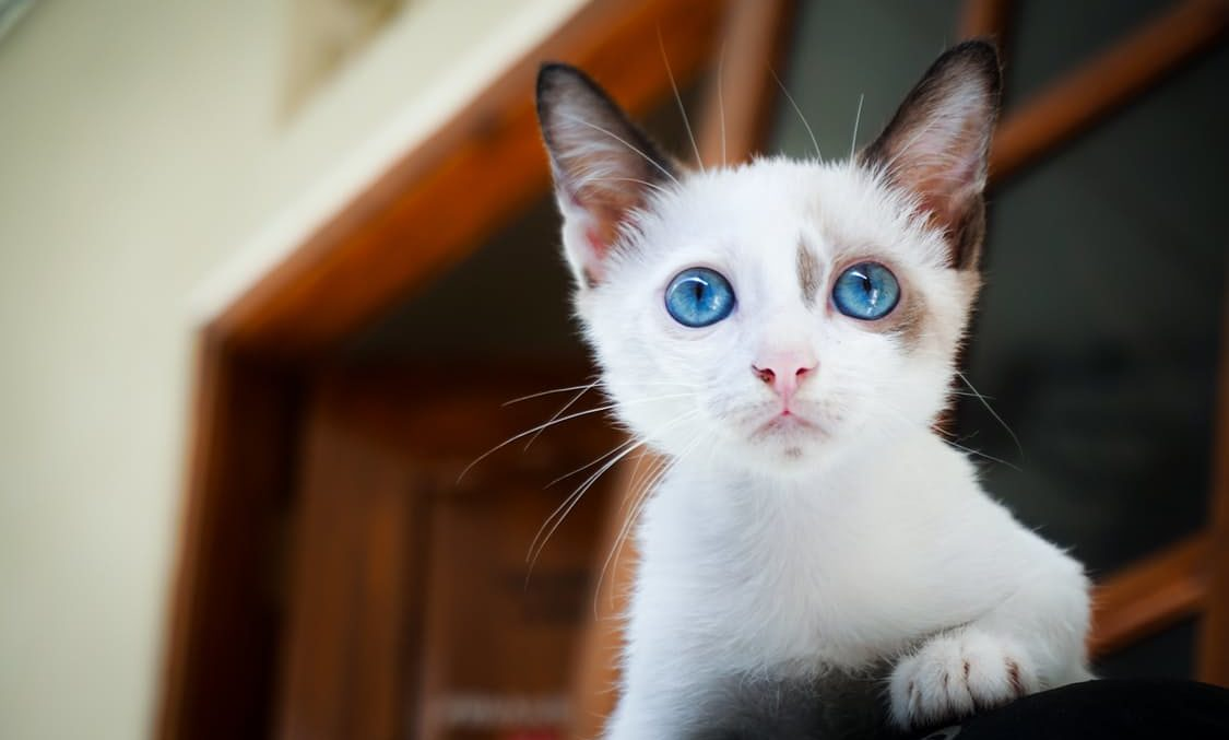 Senile Cats: Why My Cat Is Appearing Bizarre And What To Do 4