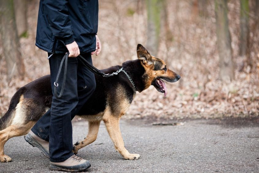 master and his obedient (german shepherd) dog on a walk