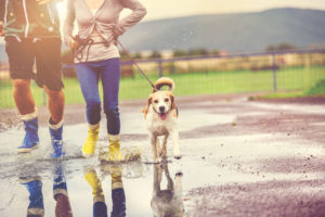 young couple walk dog in rain. details of wellies splashing in puddles.
