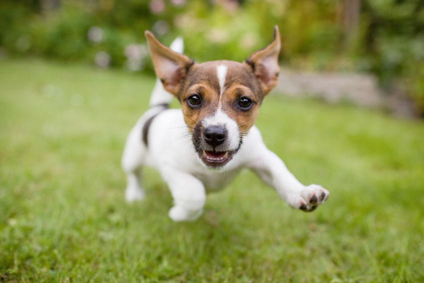 happy puppy dog running through grass