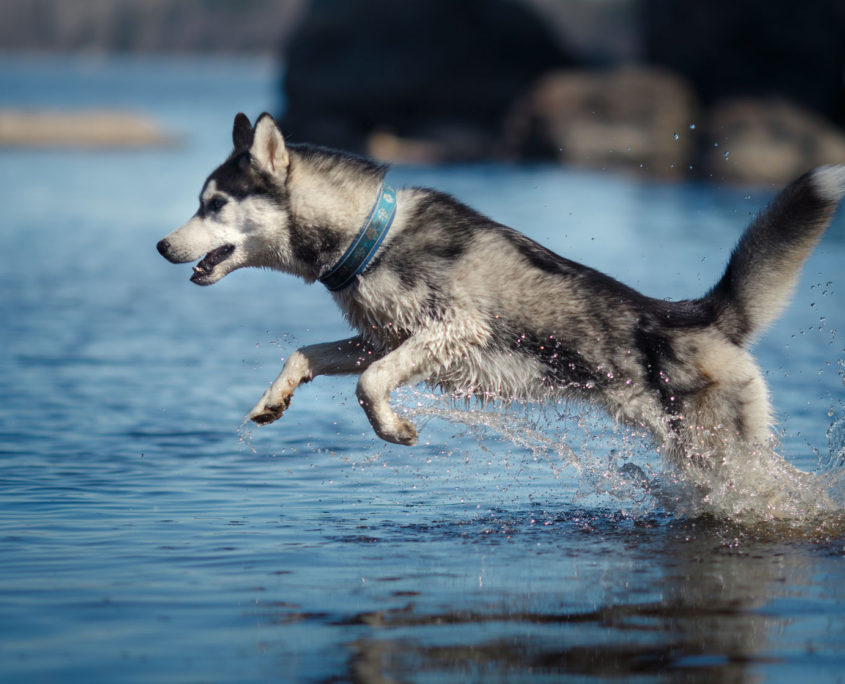 dog siberian husky walking, dog jumping in the water