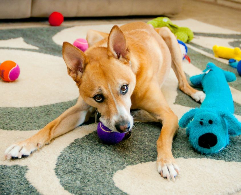 dog chewing on purple toy