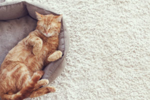 a ginger cat sleeps in his soft cozy bed on a floor carpet