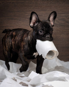 funny dog. playing with toilet paper. dog french bulldog puppy, black color. background wood