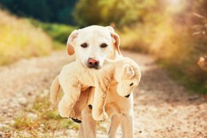 yellow labrador retriever on the walk in rural landscape. dog is holding his plush toy of the dog in mouth.