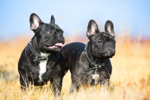 two french bulldogs portrait