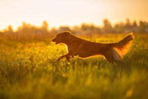 dog nova scotia duck tolling retriever walking in a field in summer, sunset