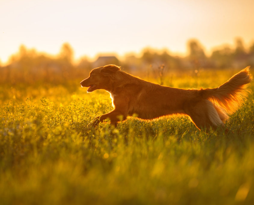 dog nova scotia duck tolling retriever walking in a field in summer, sunset