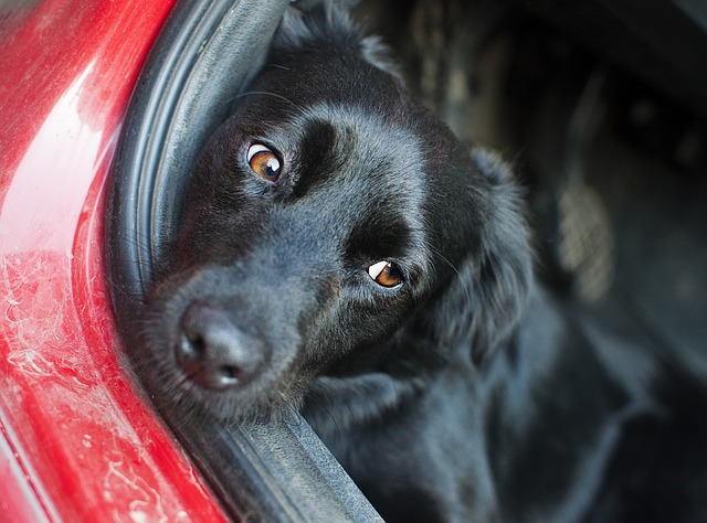 dog face resting on car door