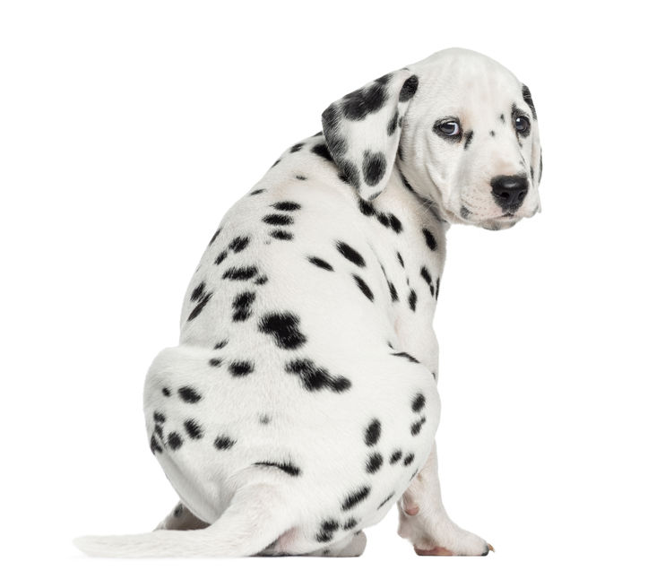 Rear view of a Dalmatian puppy sitting, looking at the camera isolated on  white