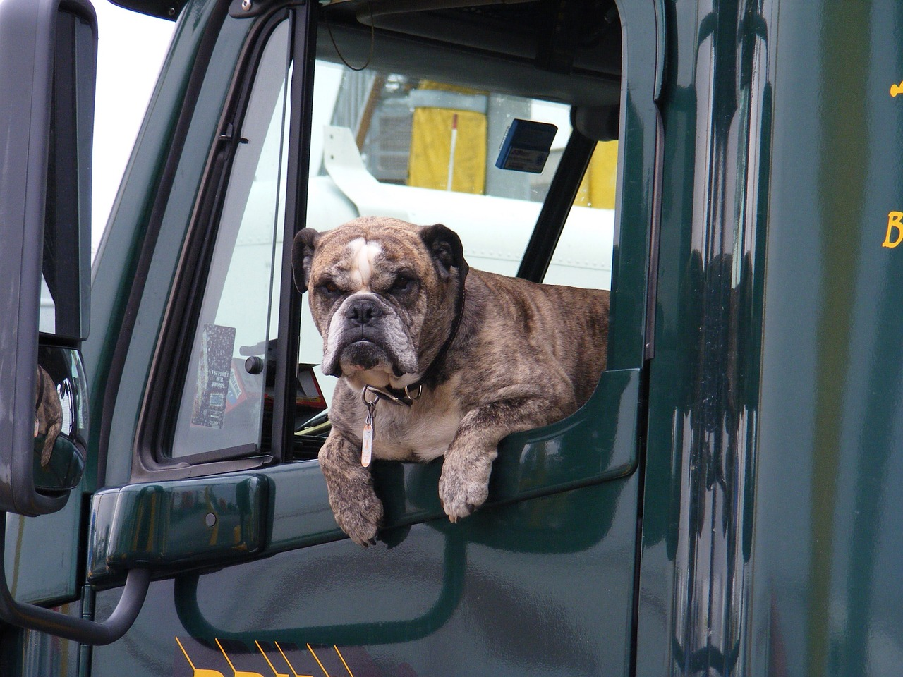 funny bulldog hanging out truck window