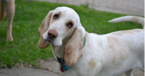 white basset hound with head tilted