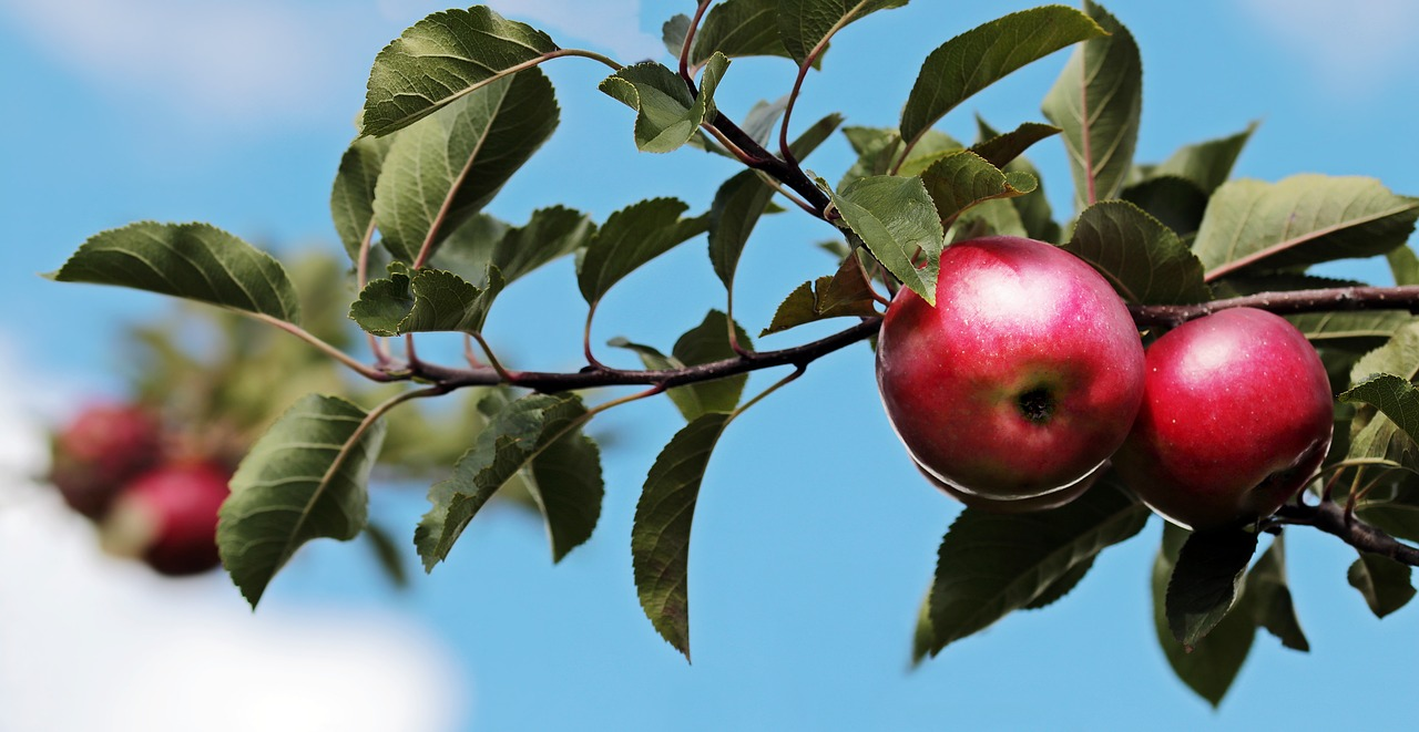 apples on a branch with blue skies