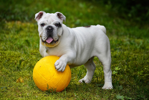 white bulldog with paw on yellow ball