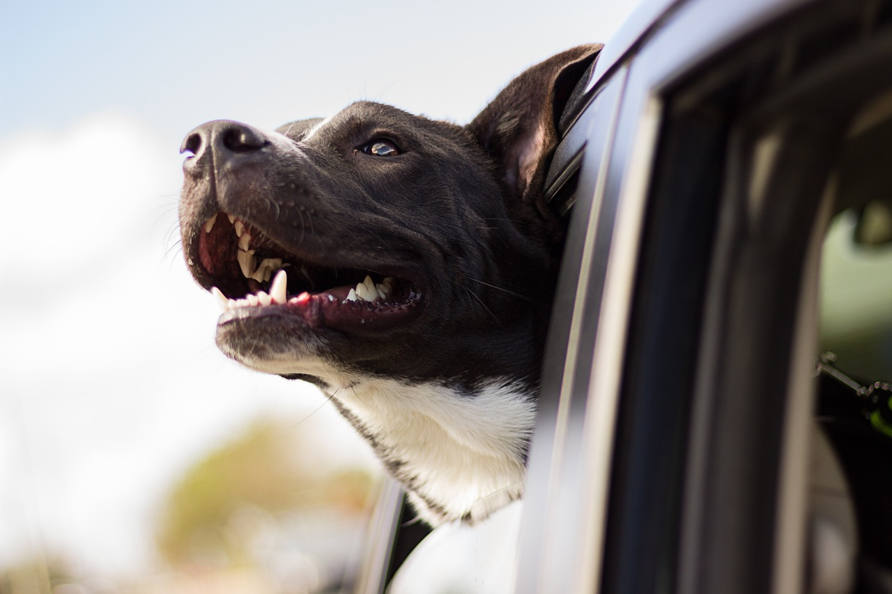 dog smiling with head out the car window