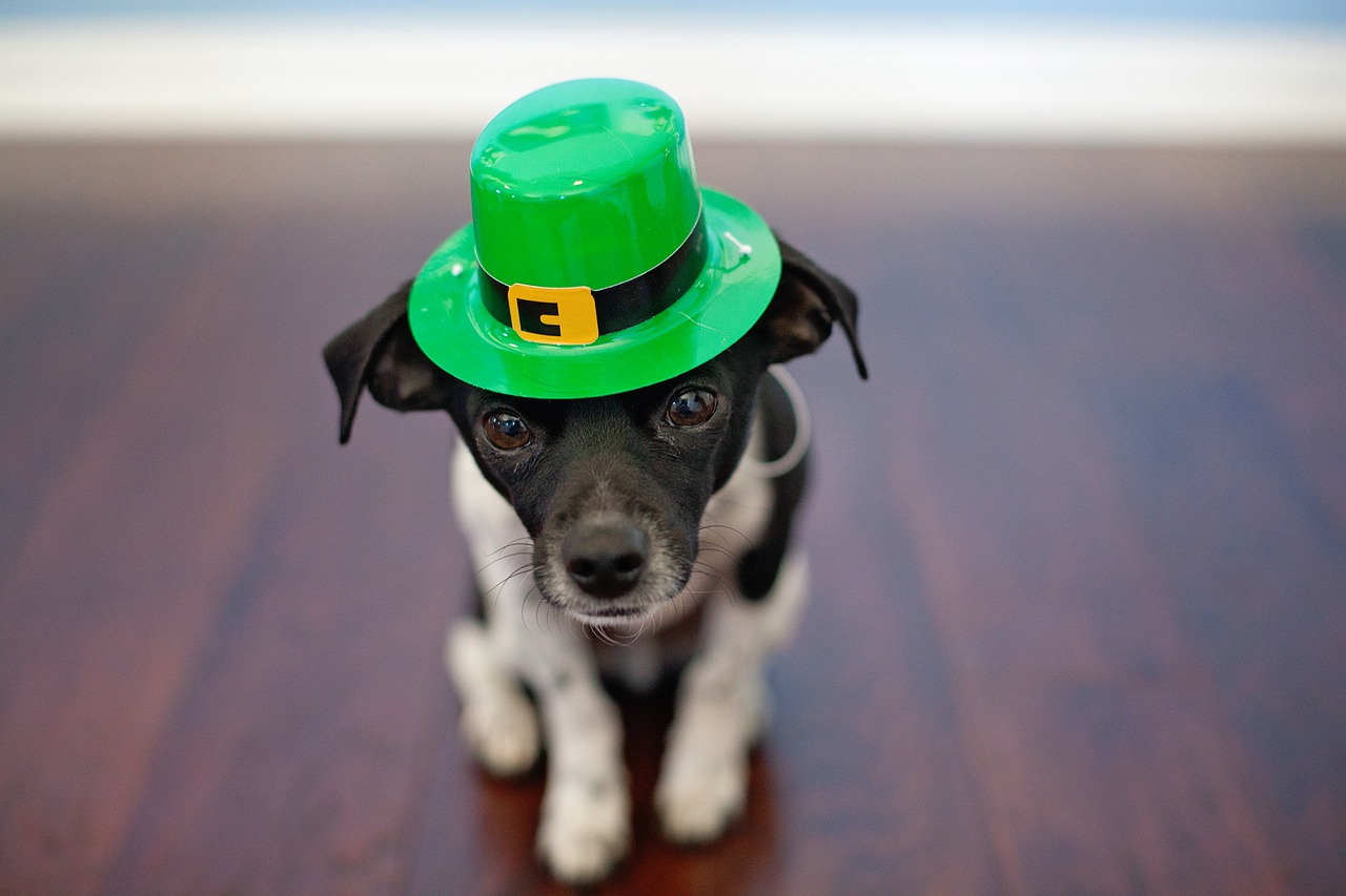 small dog wearing st patricks day hat