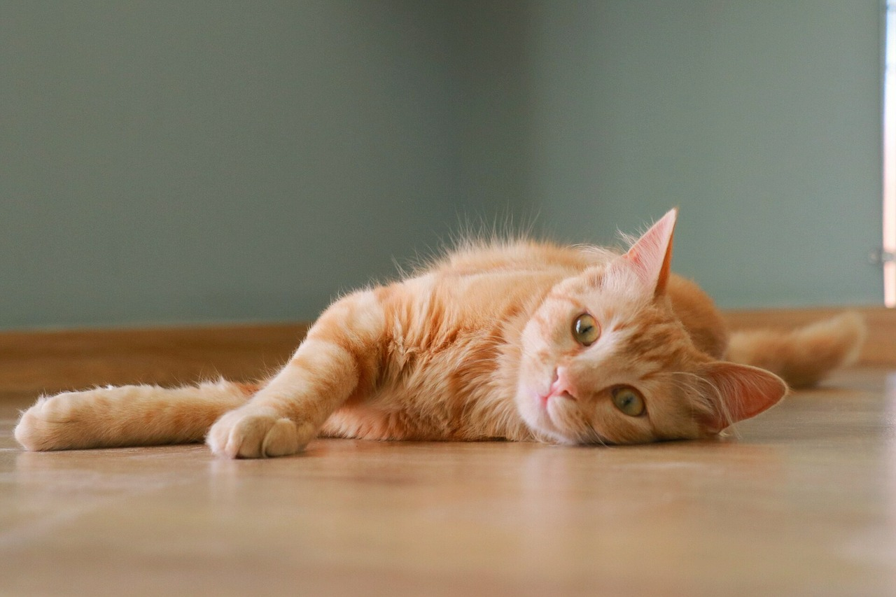 Senile Cats: Why My Cat Is Appearing Bizarre And What To Do 2