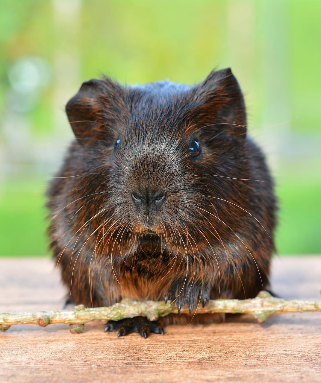 Enjoyable Info: Guinea Pigs | EntirelyPets Weblog 4