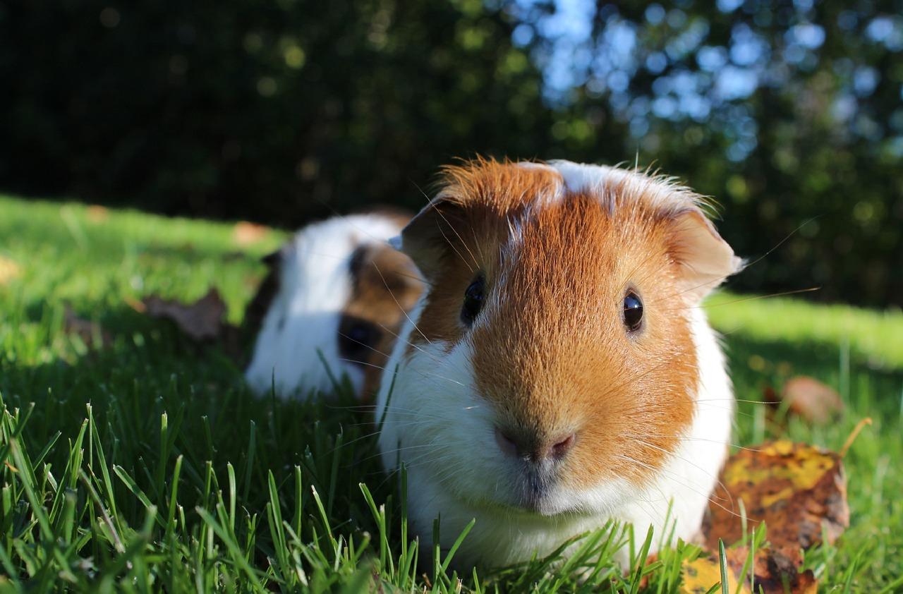 Enjoyable Info: Guinea Pigs | EntirelyPets Weblog 7