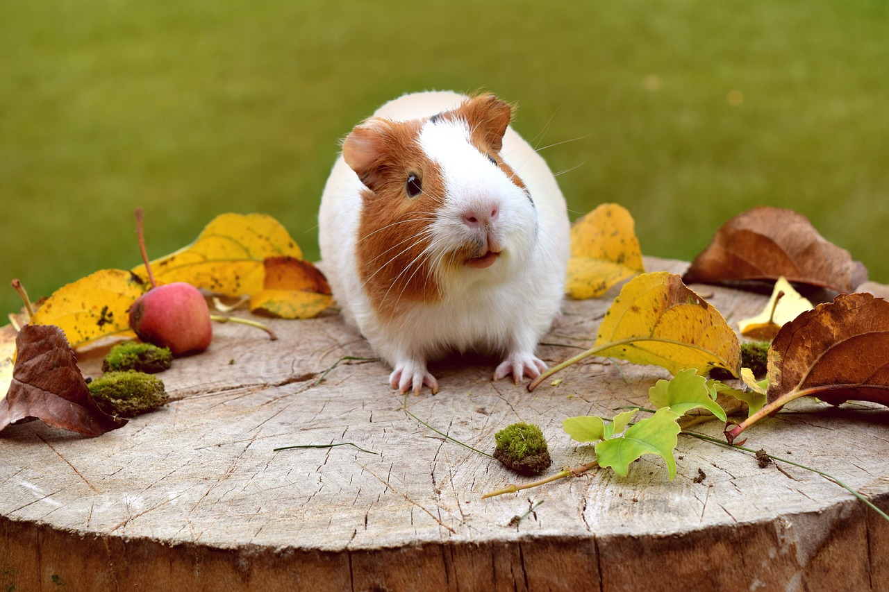 Enjoyable Info: Guinea Pigs | EntirelyPets Weblog 3