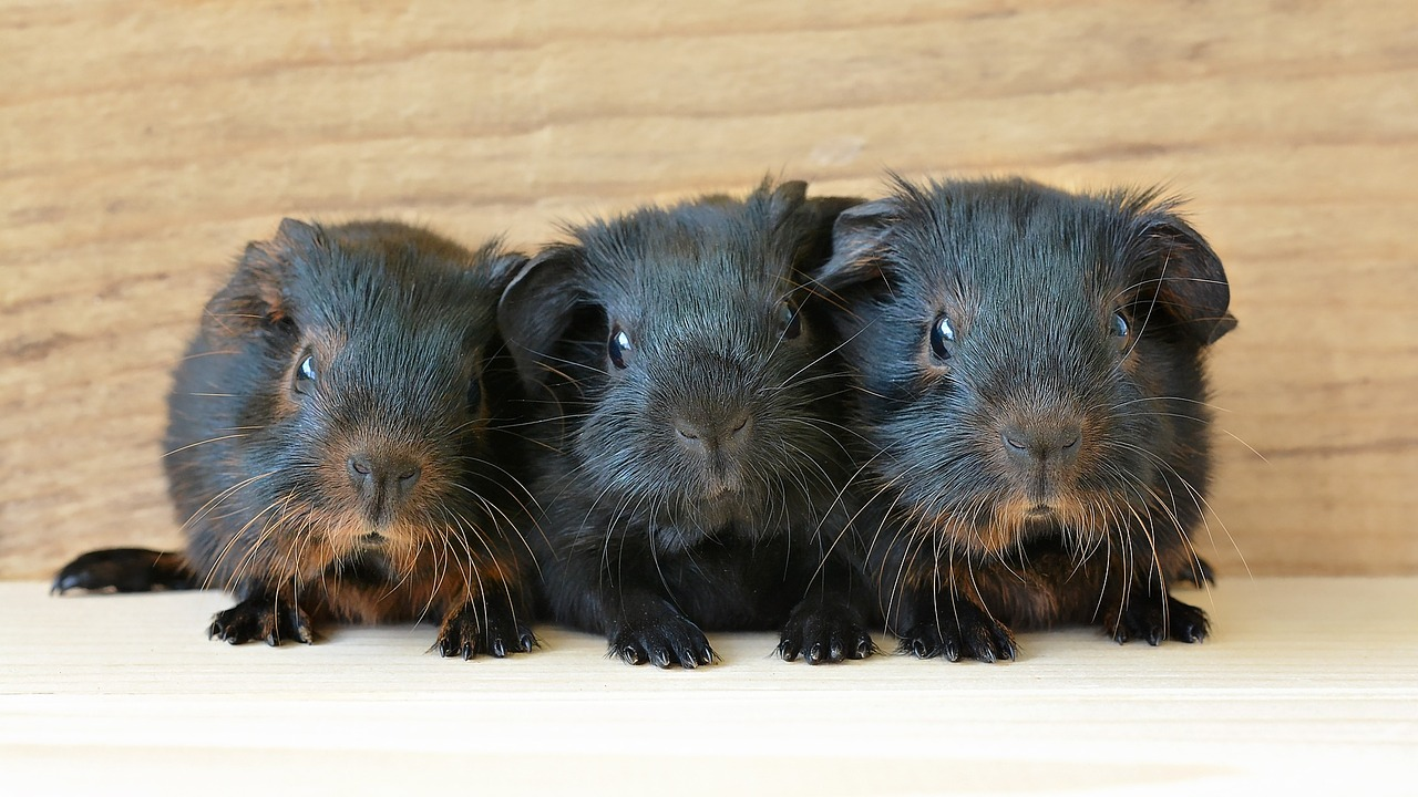 Enjoyable Info: Guinea Pigs | EntirelyPets Weblog 5